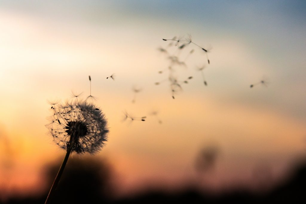 Image of dandelion seeds blowing in wind