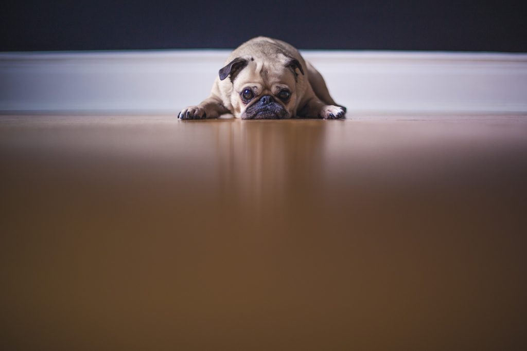 Image of pug puppy looking depressed